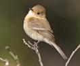 Buff-breasted-Flycatcher-0028