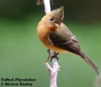 Tufted_Flycatcher_WEB_Tour_2