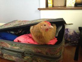 chicken suitcase
