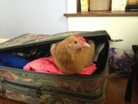 chicken suitcase