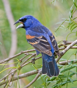 blue-grosbeak-0017.jpg
