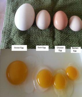 egg comparison