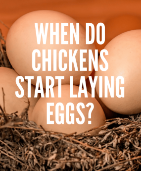 When-do-chickens-start-laying-eggs