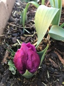 Anxious Tulip