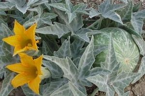 Coyote-Melon--Desert-Gourd--Cucurbita-palmata100131-254
