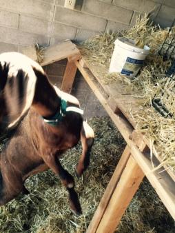 goat ramp