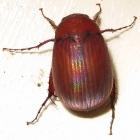 asiatic beetle