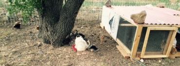 chicks otu