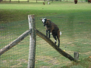 goat expcape