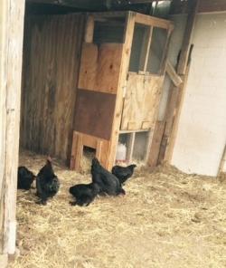 chickens investigating