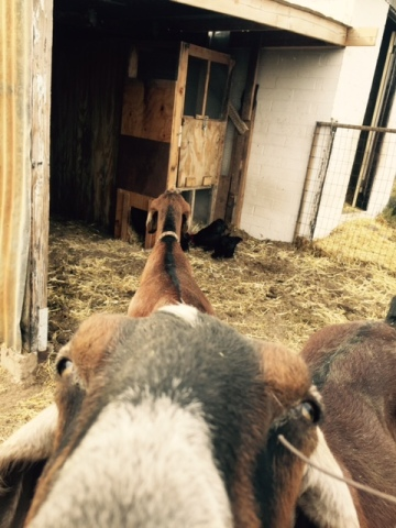 goat nose