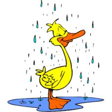 Duck_in_Rain_2