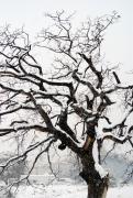 The dead oak tree