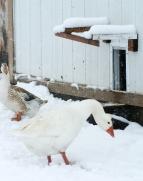 Octave and a Quacker