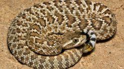 Mojave-rattlesnakes